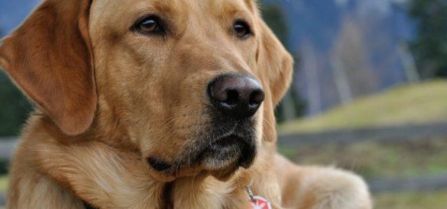 Terapijski psi mogu pomoći oboljelima od raka