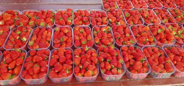 Počeli Dani zagrebačkih jagoda, trajat će dok domaći proizvođači ne prodaju sve plodove