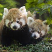 Crvena pande Ema i Popi dobile blizance, divovski mravojedi prvu bebu, sova velika ušara – tri mladunca…