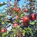 JABUKE U VRTU: Stare sorte su otporne i ne treba ih špricati, a ukusnije su i mirisnije od komercijalnih