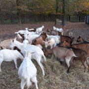 Na eko-imanju uz rub Zagreba uzgaja 400 životinja; koze su glavne jer su izvor zdravlja i donose velike prihode